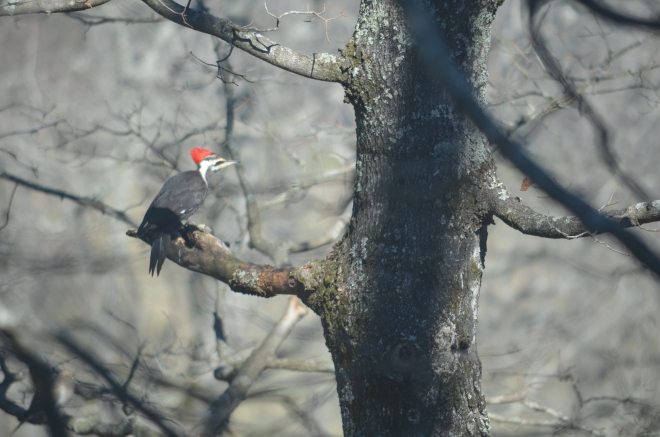 This pileated woodpecker decided to hang out with all the other birds today!